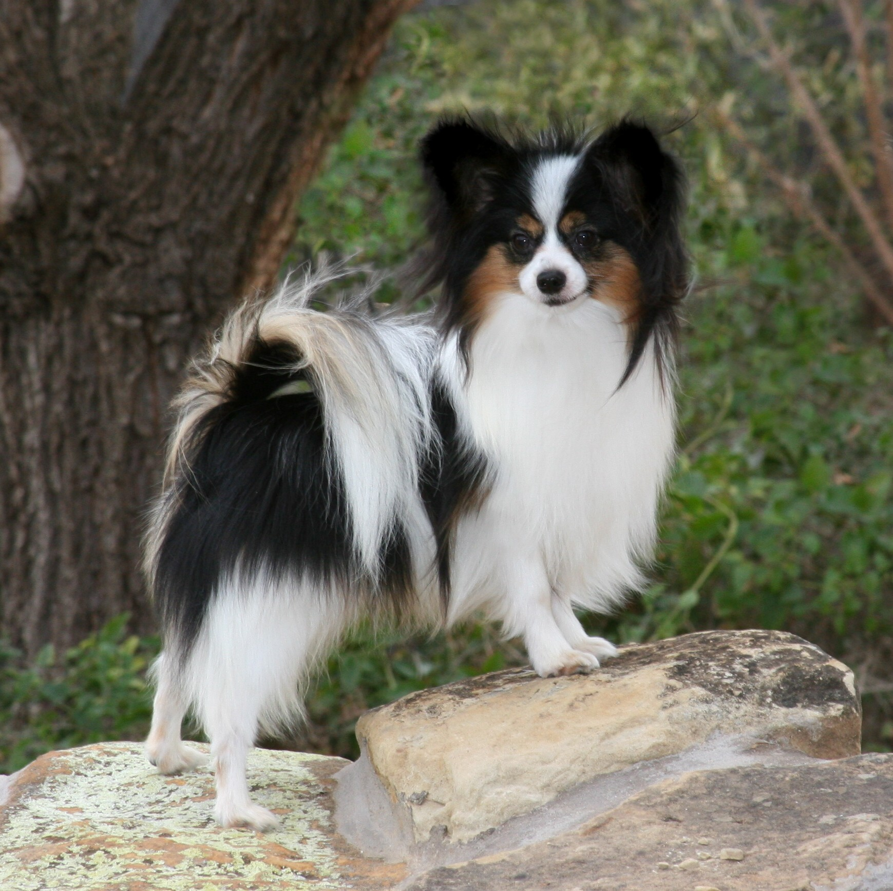 Black Papillon Dog Breed