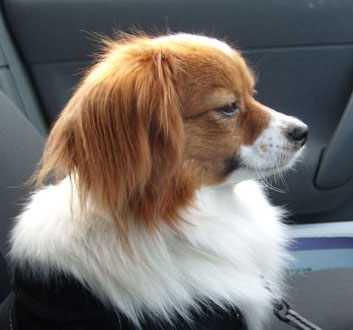 Phalene Dog Rescue